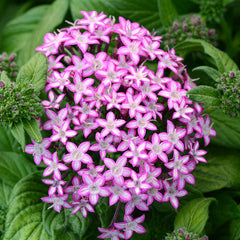 Pentas Glitterati Purple Star