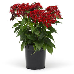Pentas Lucky Star Dark Red F1