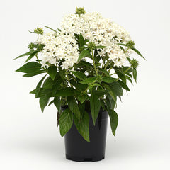 Pentas Lucky Star White F1