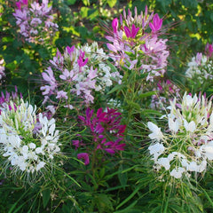 Cleome Spider Flower Mix Organic