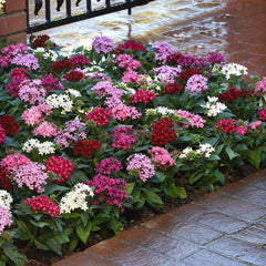 Pentas Lucky Star Mix F1