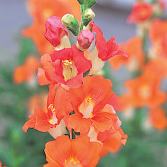 Snapdragon Chantilly Bronze F1