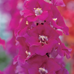 Snapdragon Chantilly Purple F1