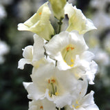 Snapdragon Chantilly White F1