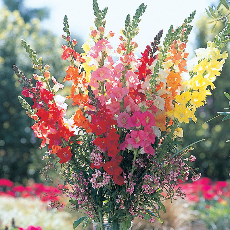 Snapdragon Chantilly Mix F1