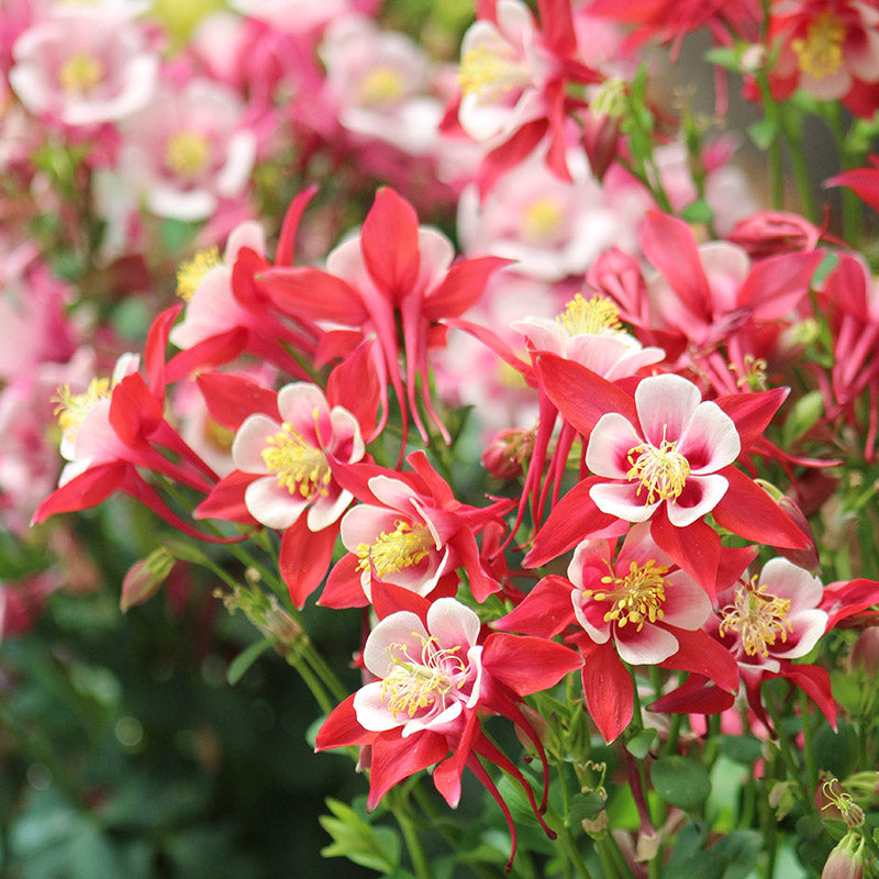 Aquilegia Kirigami Red & White F1