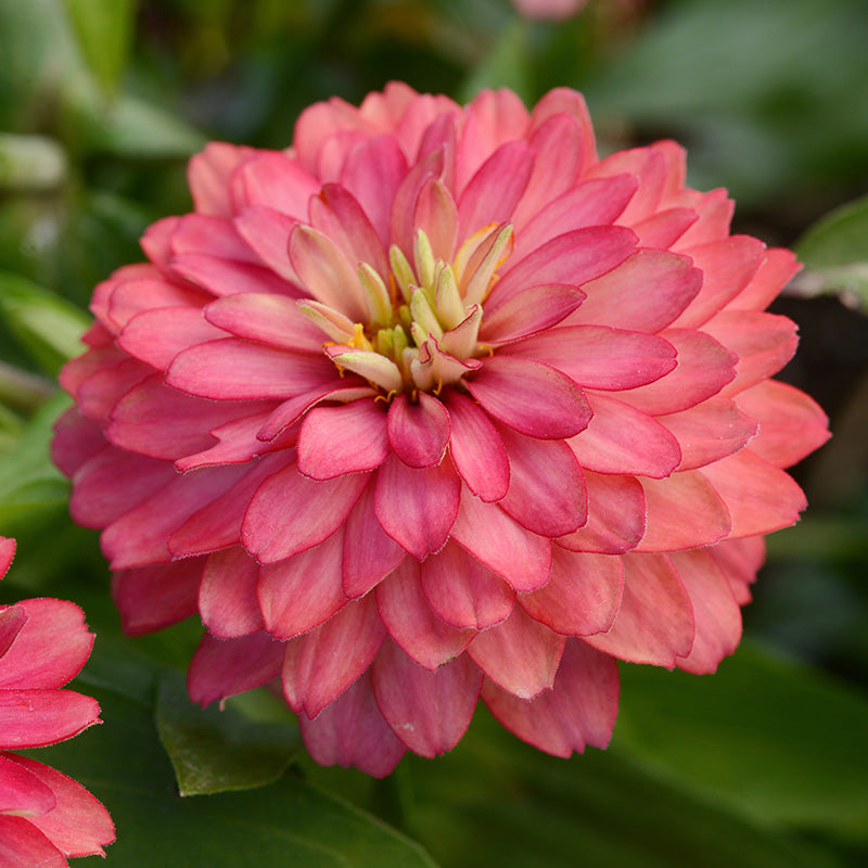 Zinnia Zahara Double Salmon Seeds