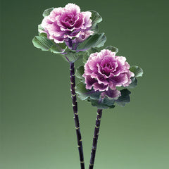 Ornamental Kale Flare™ Rose