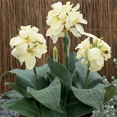 Canna South Pacific Ivory F1