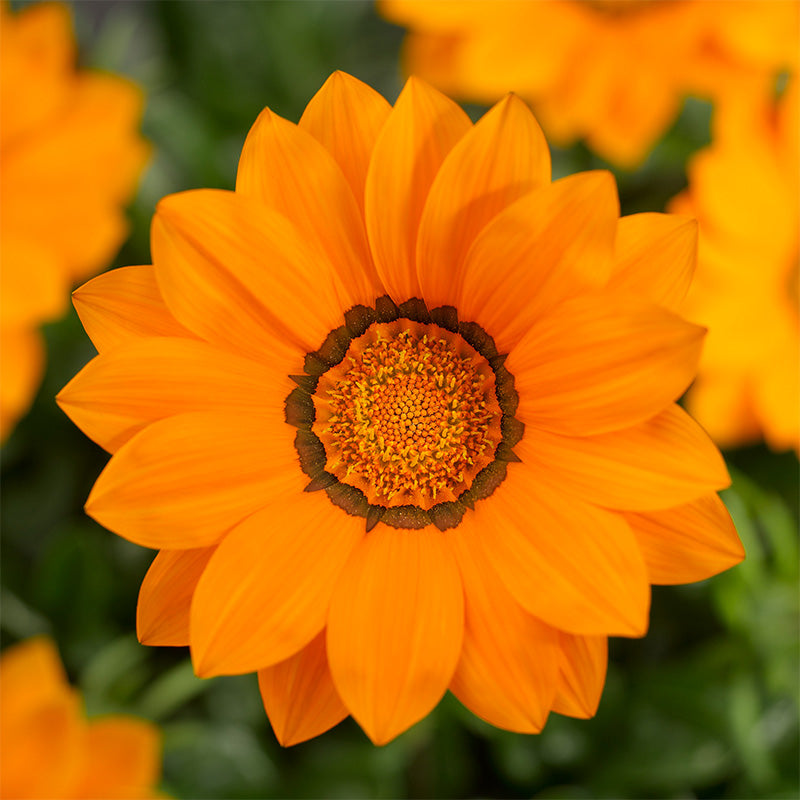 Gazania Big Kiss Orange F1