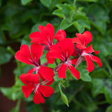 Geranium Reach Out Red F1