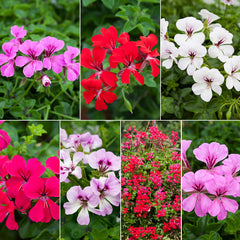 Geranium Reach Out Mix F1