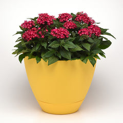 Pentas Lucky Star Raspberry F1