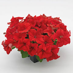 Petunia Success! 360® Red F1