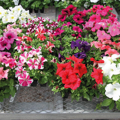Petunia Success! 360® Mix F1