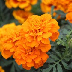Marigold Super Hero™ Deep Orange