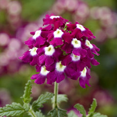 Verbena Obsession™ Cascade Burgundy w/Eye