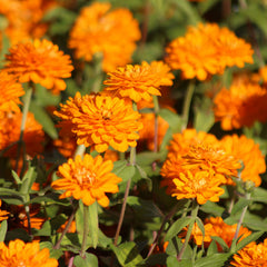 Zinnia Zahara Double Bright Orange