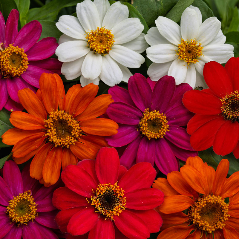 Zinnia Profusion AAS Mix Seeds