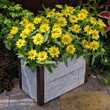 Zinnia Profusion Lemon