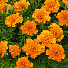 Marigold Super Hero Orange