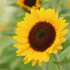Sunflower Sunrich Summer Provence F1