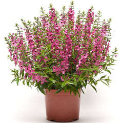 Angelonia Serena Rose F1