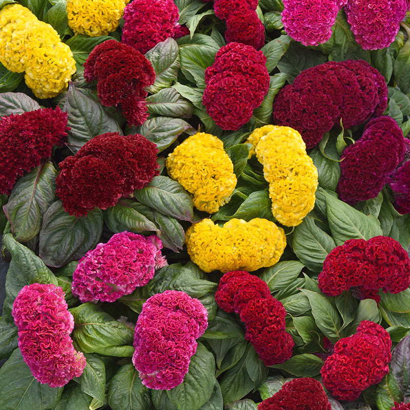Celosia Concertina Mix Seeds