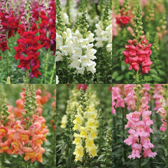 Snapdragon Potomac Mix