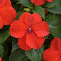 Impatiens Beacon Red Bright