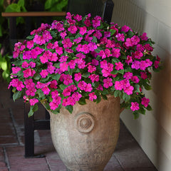Impatiens Beacon Violet Shades