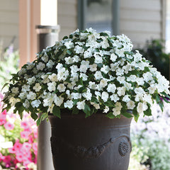 Impatiens Beacon White