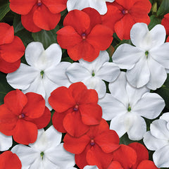 Impatiens Beacon Red White Mix