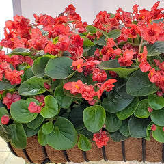 Begonia Fiona Red