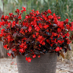 Begonia Viking Red On Chocolate