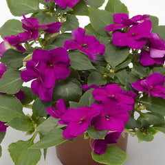 Impatiens Imara XDR Purple