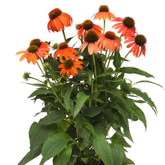 Echinacea Artisan Soft Orange