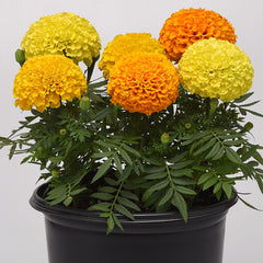 Marigold Marvel II Mixture
