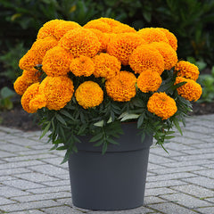 Marigold Marvel II Orange