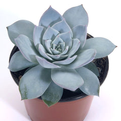Echeveria Peacockii