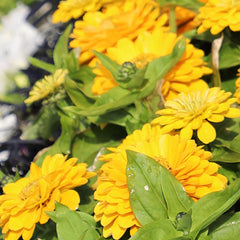 Zinnia Preciosa Yellow