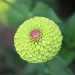 Zinnia Queeny Lime with Blotch