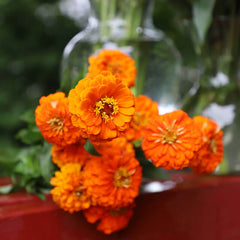 Zinnia Queeny Pure Orange