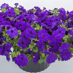 Petunia FotoFinish Blue