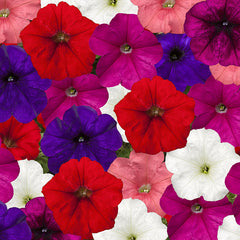 Petunia FotoFinish Mix