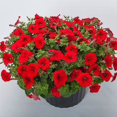 Petunia FotoFinish Red
