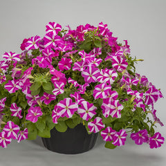 Petunia FotoFinish Rose Star