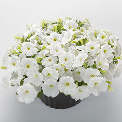 Petunia FotoFinish White