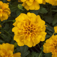 Marigold Happy Gold