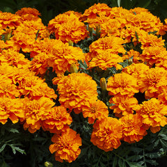 Marigold Happy Orange